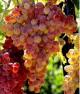 5 правил выращивания винограда